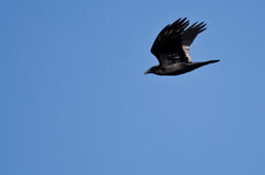 Black Common Raven Flying in a Blue Sky Royalty Free Stock Photo