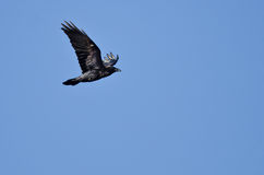 Black Common Raven Flying in a Blue Sky Royalty Free Stock Photos