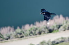 Black Common Raven Flying Over the River Viewed From Above Royalty Free Stock Images
