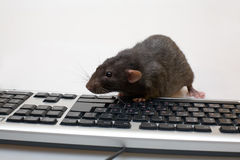 Black computer rat Stock Images