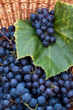 Black Concord grapes in a wicker basket Royalty Free Stock Images
