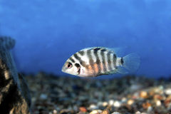 Black Convict Cichlid  708005 Royalty Free Stock Photos
