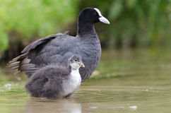 Black Coot Royalty Free Stock Images
