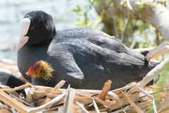 Black Coot with Chcks at Sea Royalty Free Stock Photos