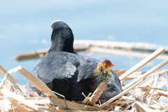 Black Coot with Chcks at Sea Royalty Free Stock Photography
