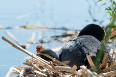 Black Coot with Chcks at Sea Stock Image