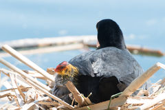 Black Coot with Chcks at Sea Stock Images