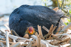 Black Coot with Chcks at Sea Stock Photo