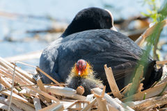 Black Coot with Chcks at Sea Royalty Free Stock Images