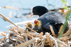 Black Coot with Chcks at Sea Royalty Free Stock Image