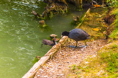 Black coot Stock Image