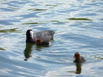 Black coot on lake Stock Photography