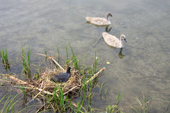 Black coot in the nest Royalty Free Stock Photography