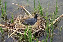 Black coot in the nest Royalty Free Stock Photos