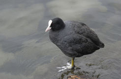 Black coot with white head by lake Royalty Free Stock Photo