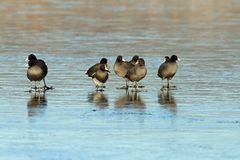Black coots on frozen surface Royalty Free Stock Photography