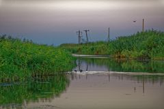 Black Coots Hiding In Reeds On Danube Delta Royalty Free Stock Photo