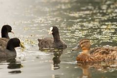 Black coots on the water Stock Photo