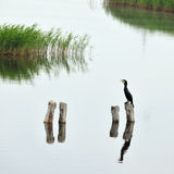 Black cormorant Royalty Free Stock Photos