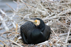 Black Cormorant royalty free stock photography