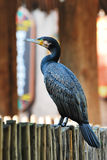 Black Cormorant Royalty Free Stock Images