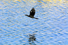 A black Cormorant bird flying over rippled blue water of Man Sag Royalty Free Stock Photo