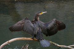 Black Cormorant bird standing on log in river with wings spread royalty free stock image