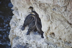 Black cormorant chicks on a white rock Stock Images