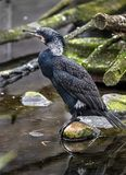 Black cormorant 1 Stock Photography