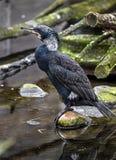 Black cormorant 1 Stock Photography