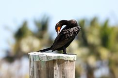 Black cormorant over a pole in a marina in Miami beach south Florida. During summer Royalty Free Stock Photo