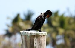 Black cormorant over a pole in a marina in Miami beach south Florida. During summer Stock Image