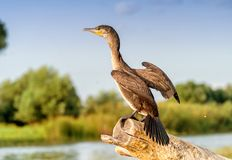 Black Cormorant Phalacrocorax auritus in Danube Delta Romania. Wildlife artistic photography in Danube Delta Europe Romania Royalty Free Stock Image