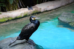 Black Cormorant (Phalacrocorax carbo) Royalty Free Stock Photo