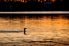 Black Cormorant  on the River Torrens, Adelaide. Black / Great Cormorant (Phalacrocorax carbo) hunting for fish on the River Torrens, Adelaide Stock Images