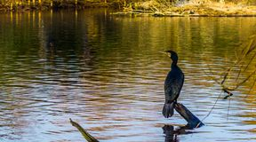 Black cormorant sitting on a tree branch above the water, beautiful water scene in nature. A black cormorant sitting on a tree branch above the water, beautiful stock photo