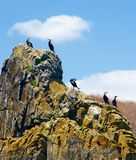 Big black cormorants  Stock Image