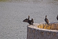 Black cormorants Stock Photos