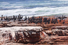 Black cormorants at red rocky coastline Royalty Free Stock Images
