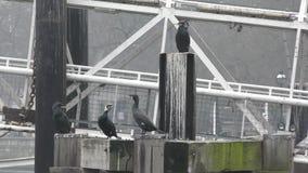 Black Cormorants on the Thames. stock video