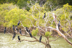 Black cormorants on tree. Twelve black cormorants perched on a mangrove tree in Rosslyn Bay on Queensland`s Capricorn Coast, Australia Royalty Free Stock Image