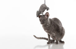 Black Cornish Rex Car sitting on the white table with reflection. White Background. Mouse Toy above the head. stock photography