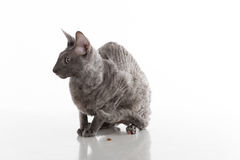 Black Cornish Rex Cat Sitting on the White Table with Reflection. White Background. Portrait. Food on the ground. Royalty Free Stock Images