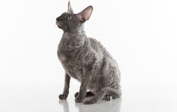 Black Cornish Rex Cat Sitting on the White Table with Reflection. White Background. Portrait. Looking Up. Stock Photos