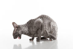 Black Cornish Rex Cat Sitting on the White Table with Reflection. White Background. Portrait. Open Mouth. Stock Photo