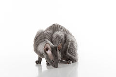 Black Cornish Rex Cat Sitting on the White Table with Reflection. White Background. Portrait. Sniff Ground Stock Photos