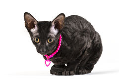 Black cornish rex kitten sitting on white background Stock Image
