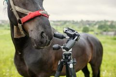 Black country horse researching the tripod for the camera. Russia. Black country horse in ragged harness researching the tripod for the camera. Russia royalty free stock photos