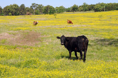 Black cow. Stands out amid yellow wildflower field royalty free stock images