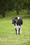 Black cow Royalty Free Stock Photos
